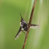 This beefly or Bombyliidae was too cold to fly so it was prime for taking photos.