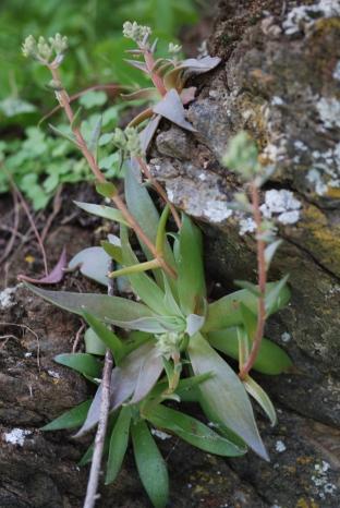 Native succulents!