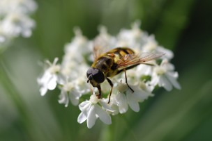 This bee mimicing hover fly really enjoyed these flowers as well.