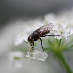 This muscid fly was also partaking on what the flowers were providing.