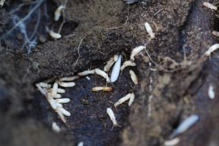 Subterranian termites