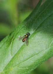 At first I tought this was a long-legged fly, but it turned out to be a soldier fly!