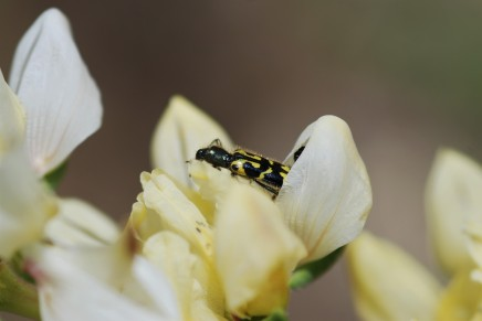 Closer look at the flower beetle or clerid.