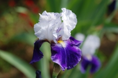 One of the many iris I saw in the Arboretum.