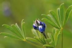 Another smaller species of Lupine.