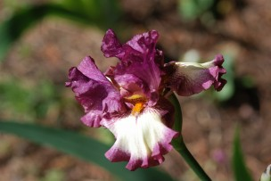 Another iris but purple this time.