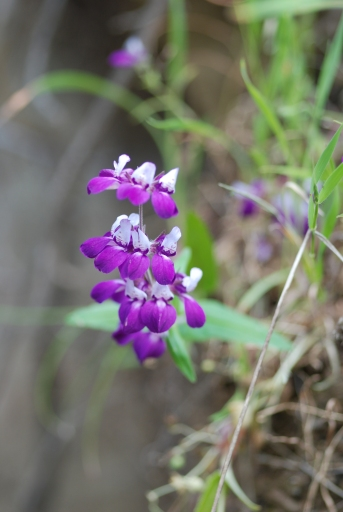 Purple Chinese houses flowers (Collinsia heterophylla).