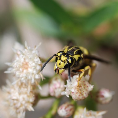 Despite their bad reputation, yellow jacket wasps or hornets can also endulge in some delicious nectar.