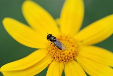 The cool temperatures made these hover flies easy to approach.