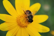 Another bee mimicing hover fly (Syrphidae), but this time on an aster.