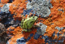 The tree frog's color was a nice contrast to the red lichens underneath it.