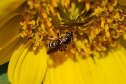 These native bees were all over these Mule's ear flowers.