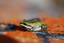Pacific tree frog, green form (Pseudacris regilla)