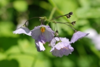 These flowers belong to the family Solanaceae.