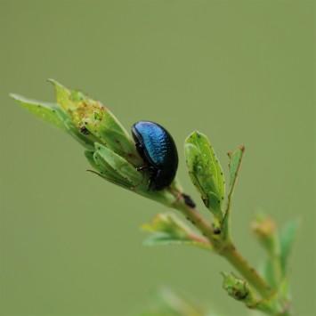 Chrysomelidae (Leaf-beetle).
