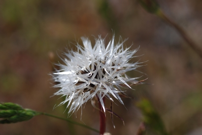 This is what happens to some of the dandelions found in this canyon.