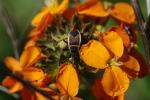 A largid bug that was hidden in the wallflower.