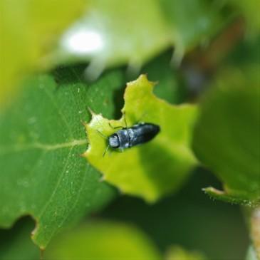 Buprestidae on canyon live oak.