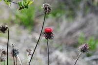 This was one of the few native thistles we saw in the canyon.