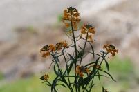 Wallflower (Erysimum sp.).