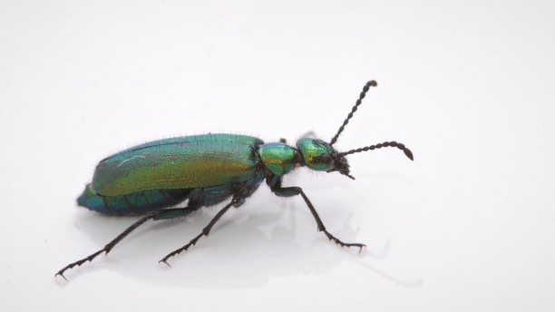 This blister beetle (Meloidae) was also cool enough for its own photo shoot.
