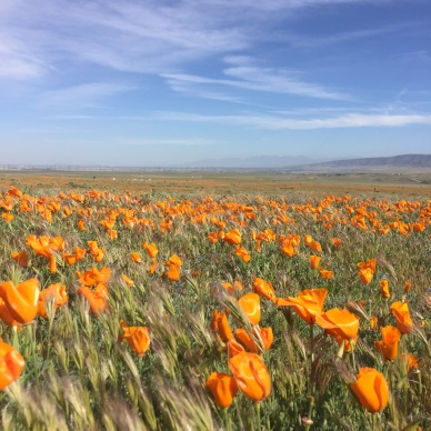 The poppies seemed to continue for miles.