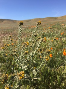 These fiddlenecks were scattered among the poppies but its flowers were not quite as large.