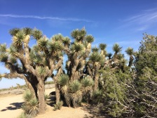 We were surprised to see these rows of Joshua trees in this small area along the road.