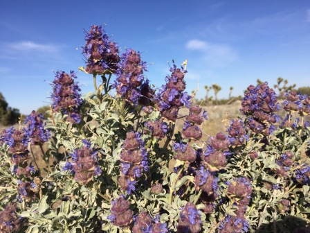 This plant was definitely some kind of Salvia species but I would have to research which one it is exactly.