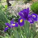 These iris flowers were incredibly colorful!