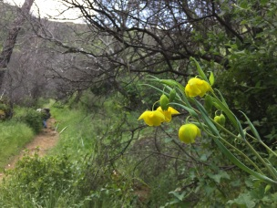 The Calochortus was everywhere in the canyon.