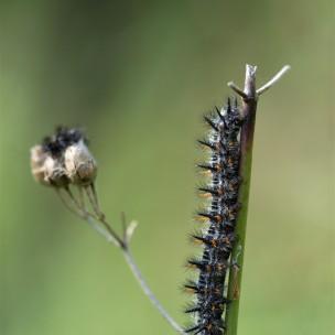 Euphydyras chalcedona caterpillar. (Variable checkerspot)