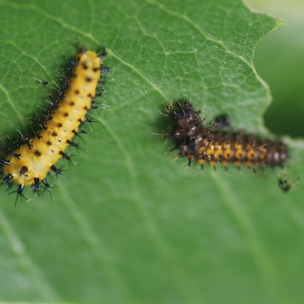 Second instar (left) and late first instar (right)