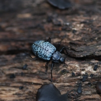 Pleasing fungus beetles were also very abundant around the oak trees.