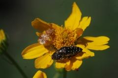 Ambush bug and small buprestids on an aster.