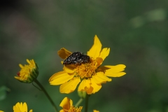 These little buprestids were all over the flower heads and varying in species as well.
