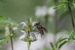 This bee fly (Bombyliidae) was nectaring among these flowers.