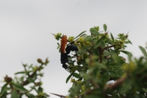 There were a few tarantula hawks (Pepsis sp.) that decided to make an appearance.