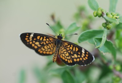 A tiny crescent butterfly (Dymasia dymas chara) out looking for nectar.