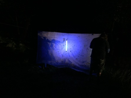 The balcklight sheet was filled with a number of small insects.
