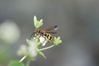 Scoliid wasp.