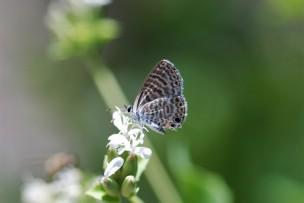 Marine Blue butterfly (Leptotes marina).