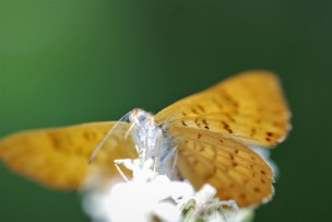 Butterfly in the family Rhiodinidae.
