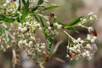 These insects were so distracted by the seep willow they didn't even move when approached.