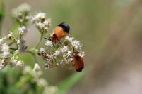 Lycids or net winged beetles.