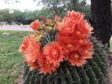 Blooming barrel cactus.