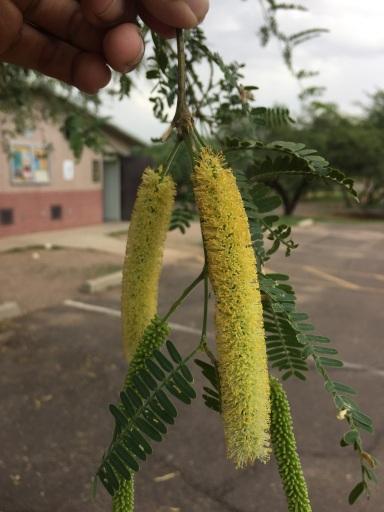 Honey mesquite flowers.