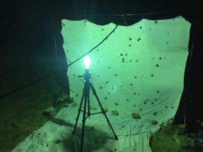 The MV light tends to bring in more large moths and that was definitely true during this night.
