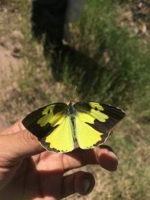Southern Dogface butterfly.