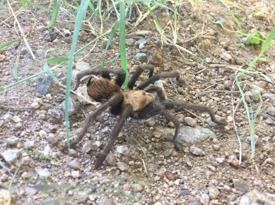 Desert Brown Tarantula.